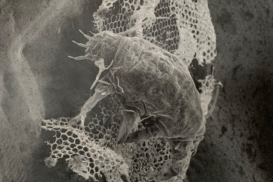 tardigrade image
